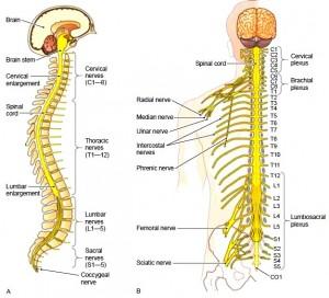 脊柱,脊髄