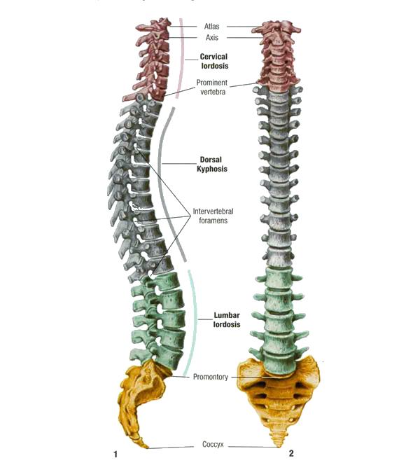 脊柱,背骨