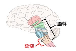 脳幹,延髄