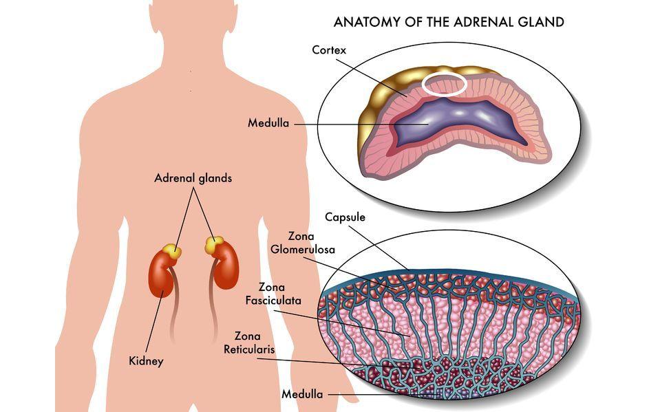 副腎,副腎ホルモン,副腎疲労