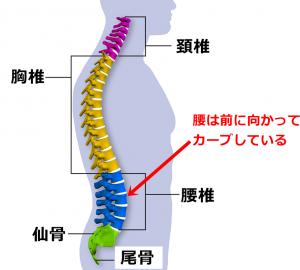 腰椎,脊柱,Lカーブ