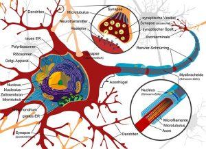 神経系,神経細胞