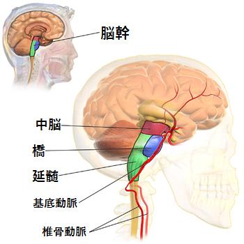 脳幹,延髄,椎骨動脈