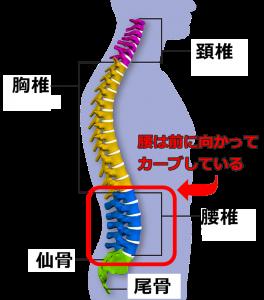 脊柱,腰の前弯,生理的湾曲