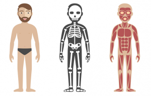 筋肉と骨格のイラスト
