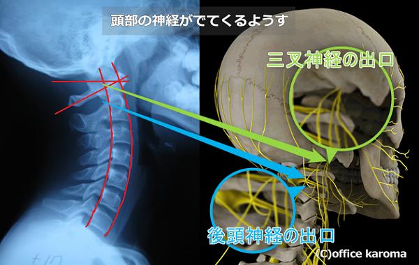 後頭神経,三叉神経,頭部の神経の走行